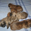 Cairn Terrier Litter M