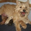 New Cairn Terrier litter