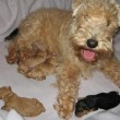 New Lakeland Terrier litter