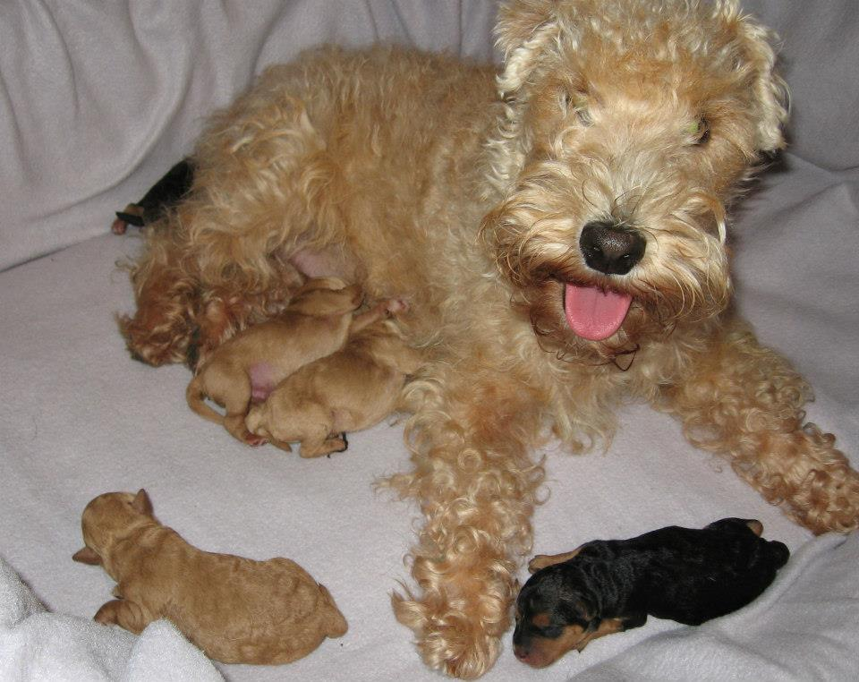 Slicey Golden Bridget and her Lakeland Terrier puppies