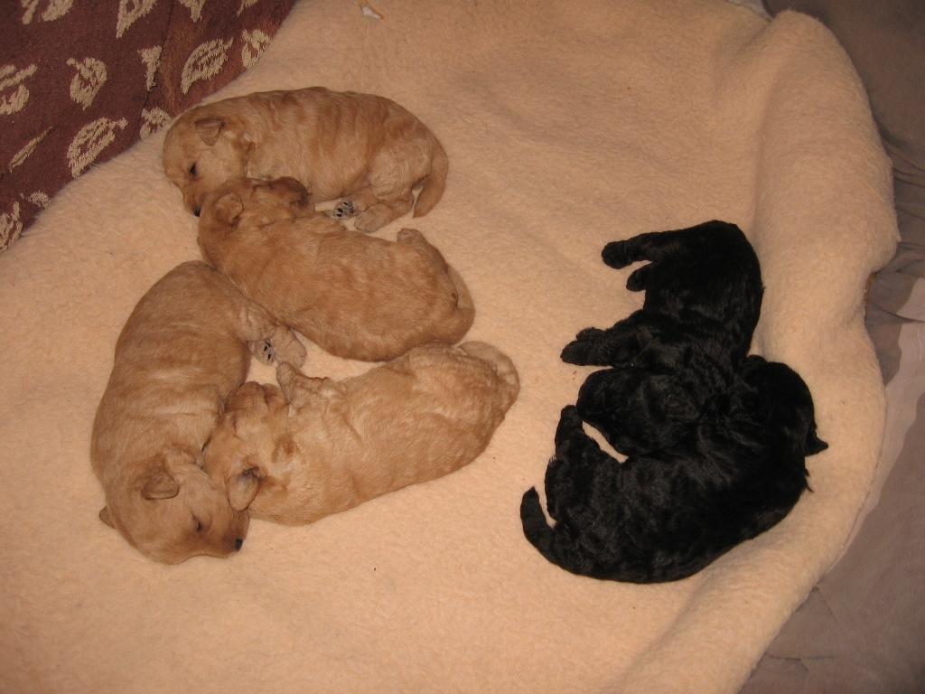 Slicey Golden Bridget and her Lakeland Terrier puppies