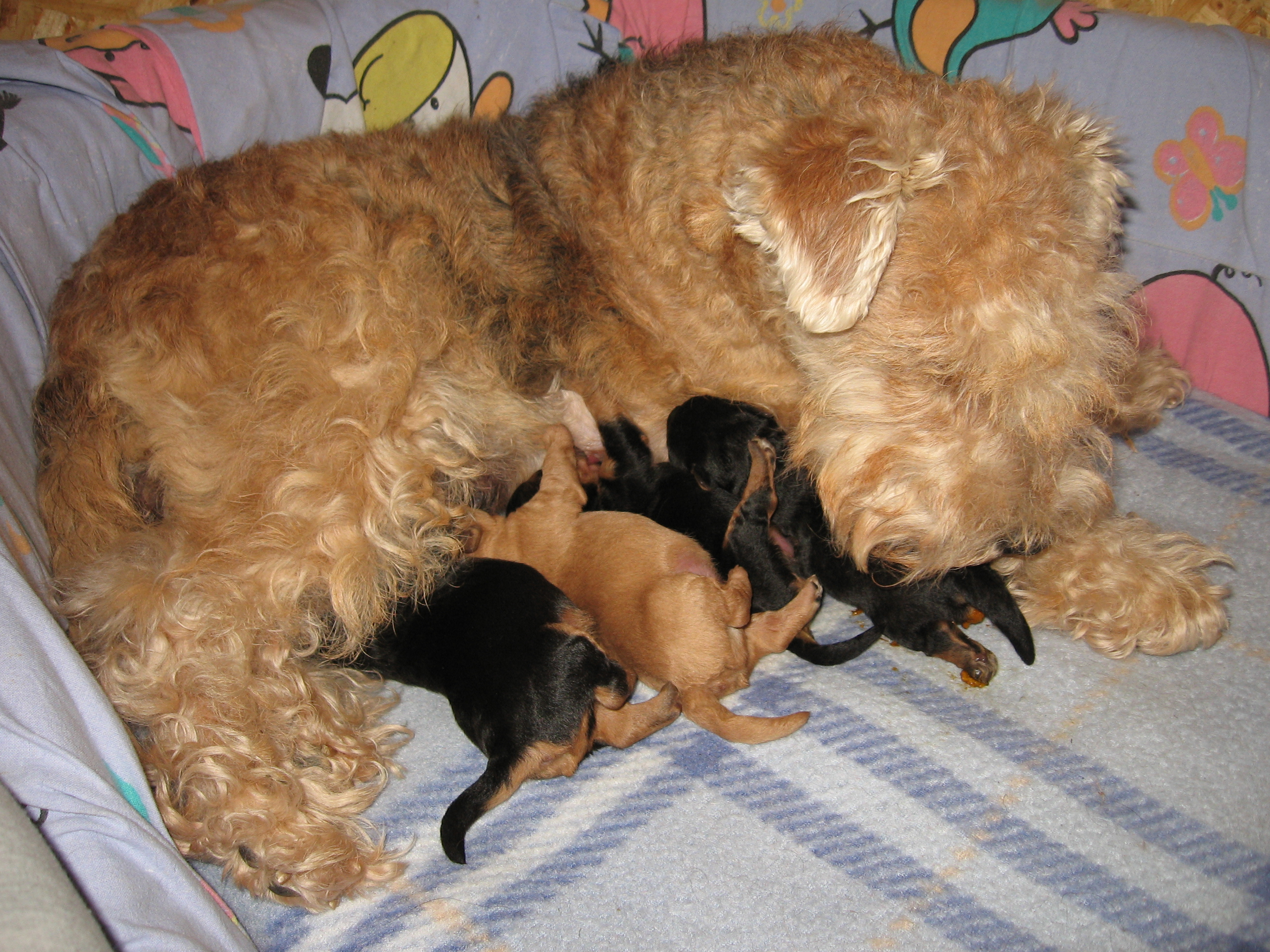 Audrey and her Lakeland Terrier puppies