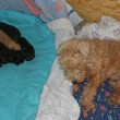 Lakeland Terrier Litter N
