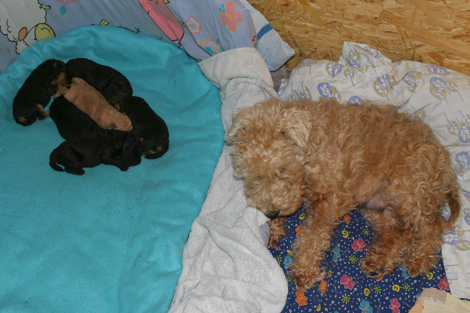 Brie and her Lakeland Terrier puppies